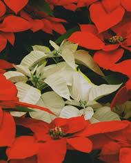 Flor De Nochebuena  S  Mbolo De La  Nueva Vida