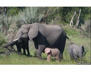 Fotografían elefante rosa en África