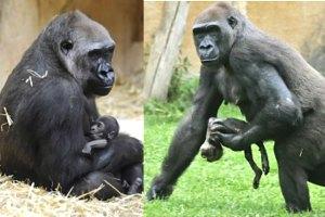 el universal     gorila del zoo de berl n alumbra nueva cr a