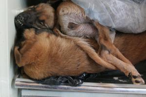 Dan a reos paraguayos carne de perro, acusan