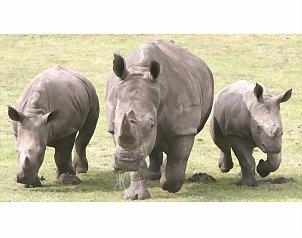 El Servicio Nacional de Parques Naturales de Sud�frica hab�a contabilizado 528 rinocerontes muertos