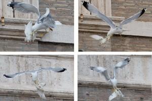 Las gaviotas liberadas en el Vaticano son atacadas