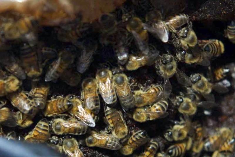 Muere hombre tras ataque de abejas en Yucatán