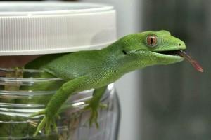 Geckos cosmonautas fallecieron en el espacio