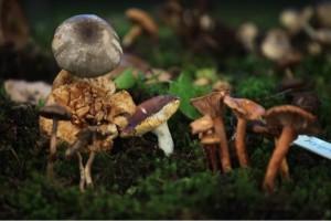 propiedades nutricionales de los hongos comestibles