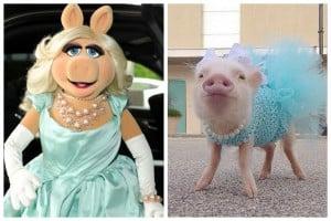 La cerda Miss Piggy de la vida real