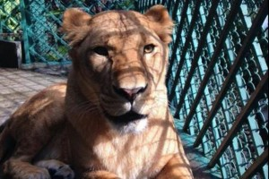 Aseguran leona en restaurante de Miguel Hidalgo