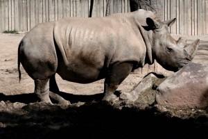 Muere rinoceronte blanco en EU, quedan cinco en el mundo
