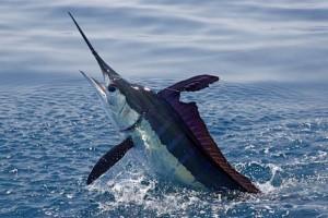 El universal ciencia pez espada recuperado gracias a for Curiosidades del pez espada