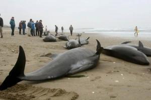 Japón: 150 delfines quedan varados en una playa