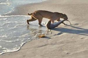 Lince entra al mar y caza a un tiburón en playa de Florida