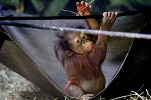 Presentan a cría de orangután en zoológico de Utah
