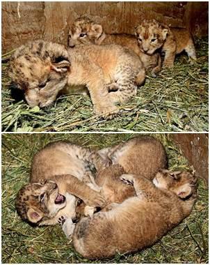Nacen tres leones en el zoológico de Zacatecas